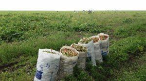 Vinte e um mil agricultores receberam seguro Garantia Safra em Alagoas