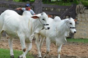 Expoagro Alagoas reunirá melhores criadores e animais da região Nordeste