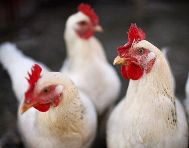 Óleo de víscera de frango pode virar fonte atrativa de renda