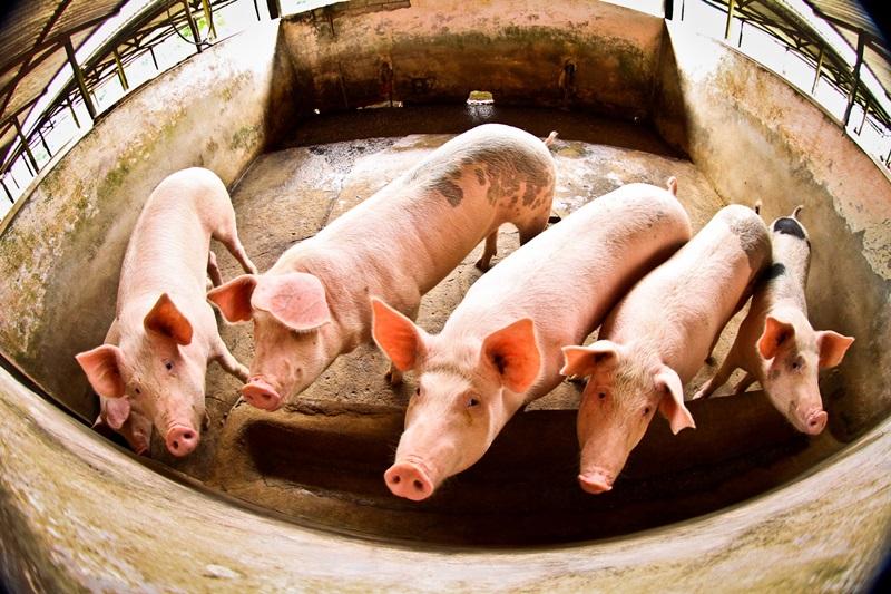 Trânsito intermunicipal de suínos é liberado em AL