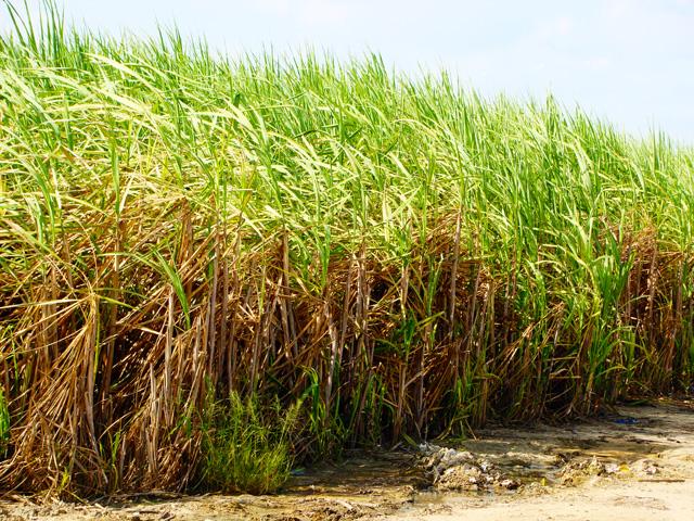 Usinas de AL já processaram mais de 15 milhões de toneladas de cana
