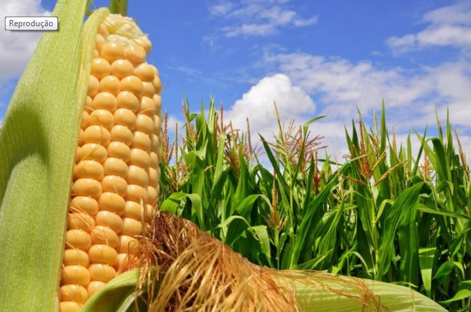 Clima de 2020 favorece Safrinha de milho