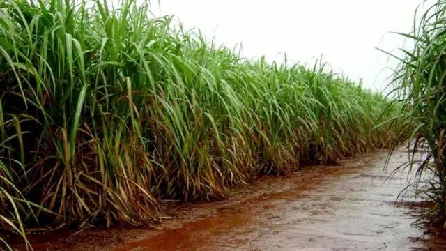 Chuvas renovam esperanças de fornecedores de cana